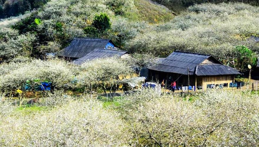 mộc châu mùa hoa mận - saomaitourist-2